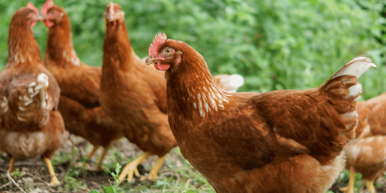 Hens being farmed for poultry.